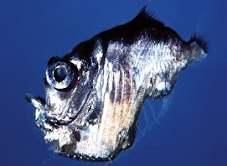 Hatchetfish : Marine Hatchetfish - Fishes World - HD Images & Free Photos