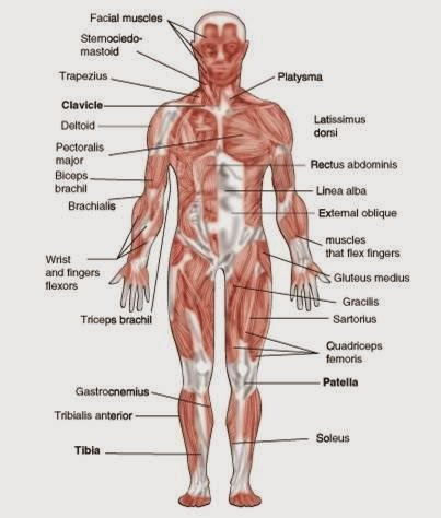 the human body systems, Human Body