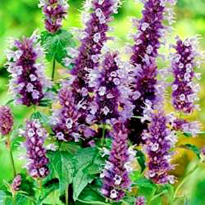 prune your perennial flower garden - Common Purple Garden Flowers