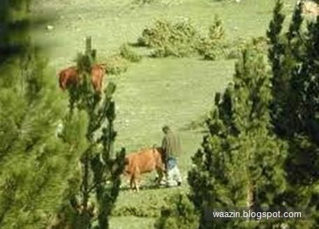 Hukum Lembu Yang Kena Rogol, Apa Kata UAI?