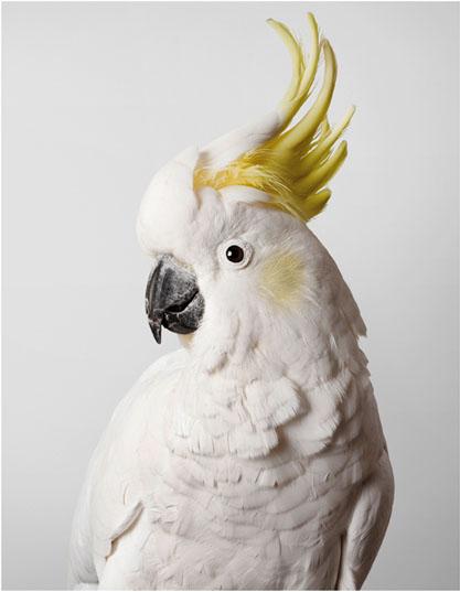 Biloela, Sulphur Crested Cockatoo, Wild Cockatoos, loro, parrot, Leila Jeffreys, photographs, photos, fotos