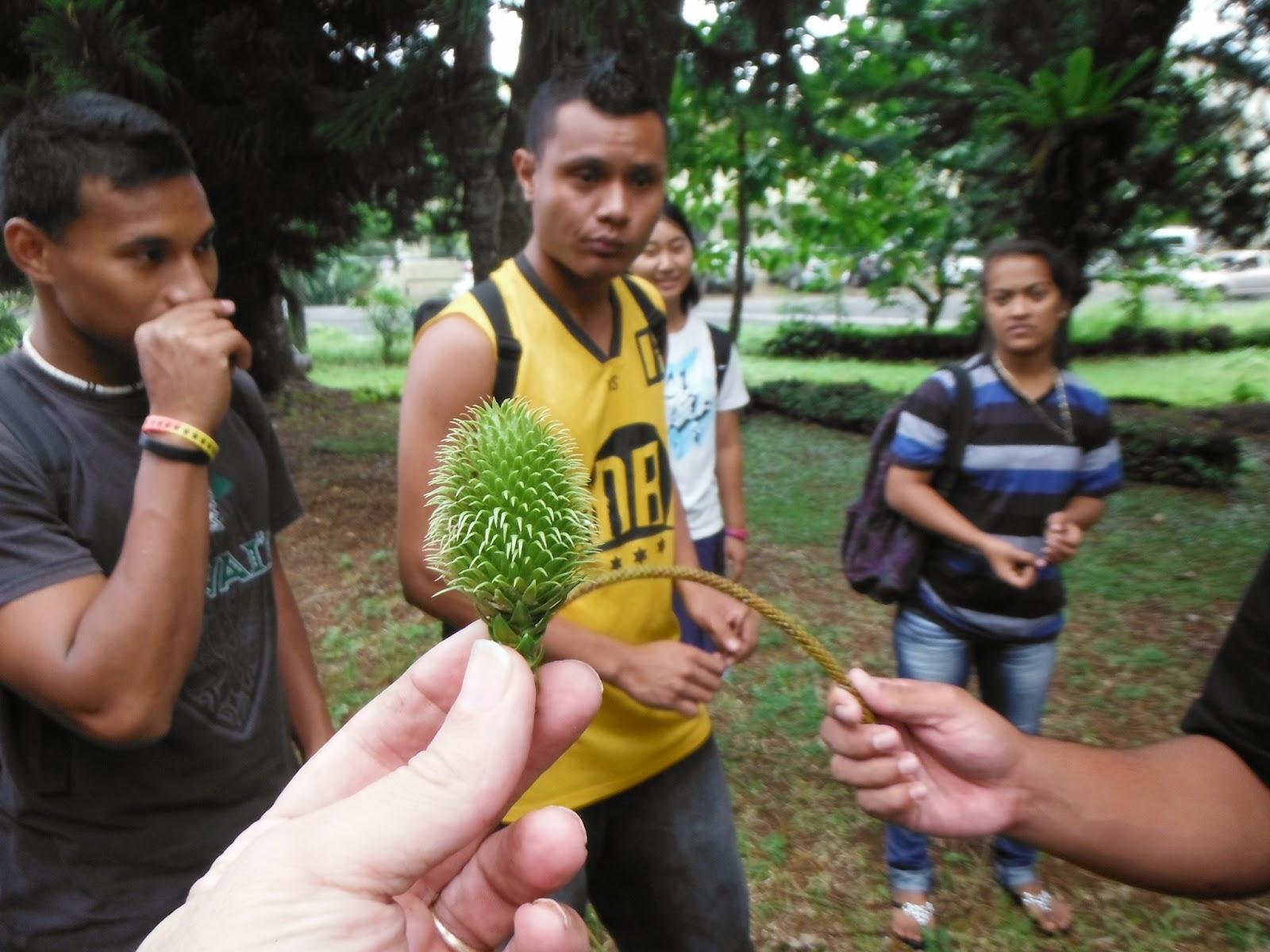 Araucaria female cone