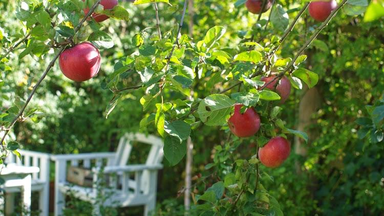 Æbletræer giver haven stemning og god frugt