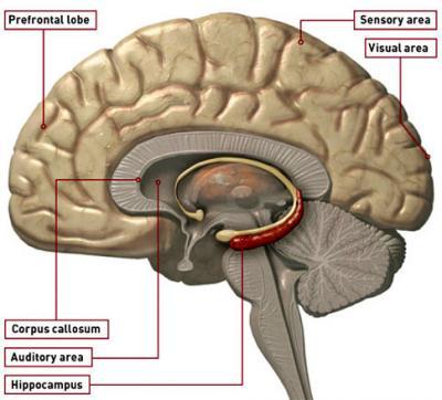 Brain Hippocampus5