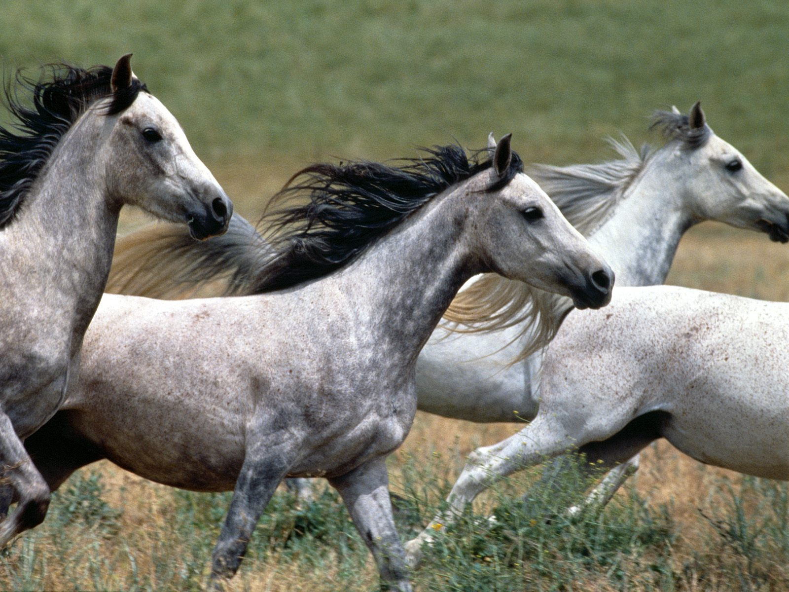 HD Animals Wallpapers: White Wild Horses - photo#26