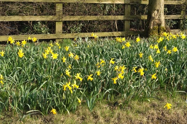 Alfies Studio - Daffodils