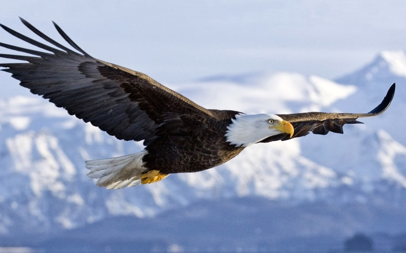Popular   Wallpaper Horse Eagle - computer-animal-eagle-wallpaper-free-download-e  2018_573199.jpg