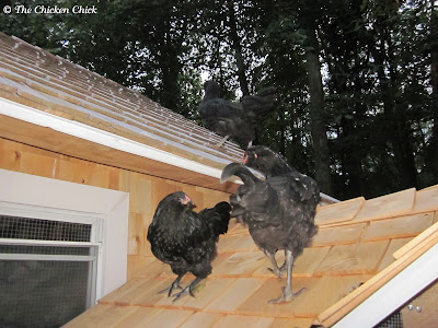 I discovered the concept of Coop Training quite by accident. My first dozen chickens to occupy the coop never required chasing or encouragement to roost inside the coop at night, but when I added the first of many subsequent flock members to the coop, I found myself coaxing chickens off the roof or from underneath the coop after dark.