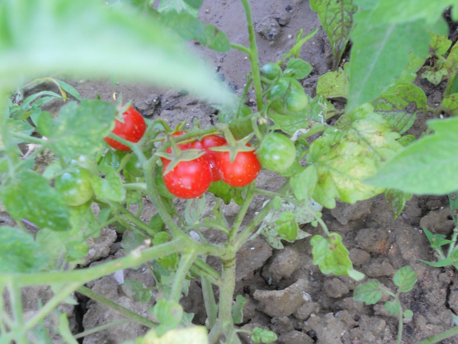 Il mio blog in uno zaino i pomodori for Cimatura pomodori
