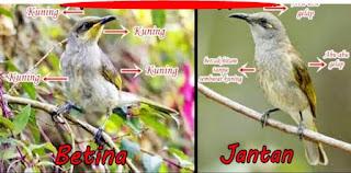 burung kecial kombo jantan dan betina