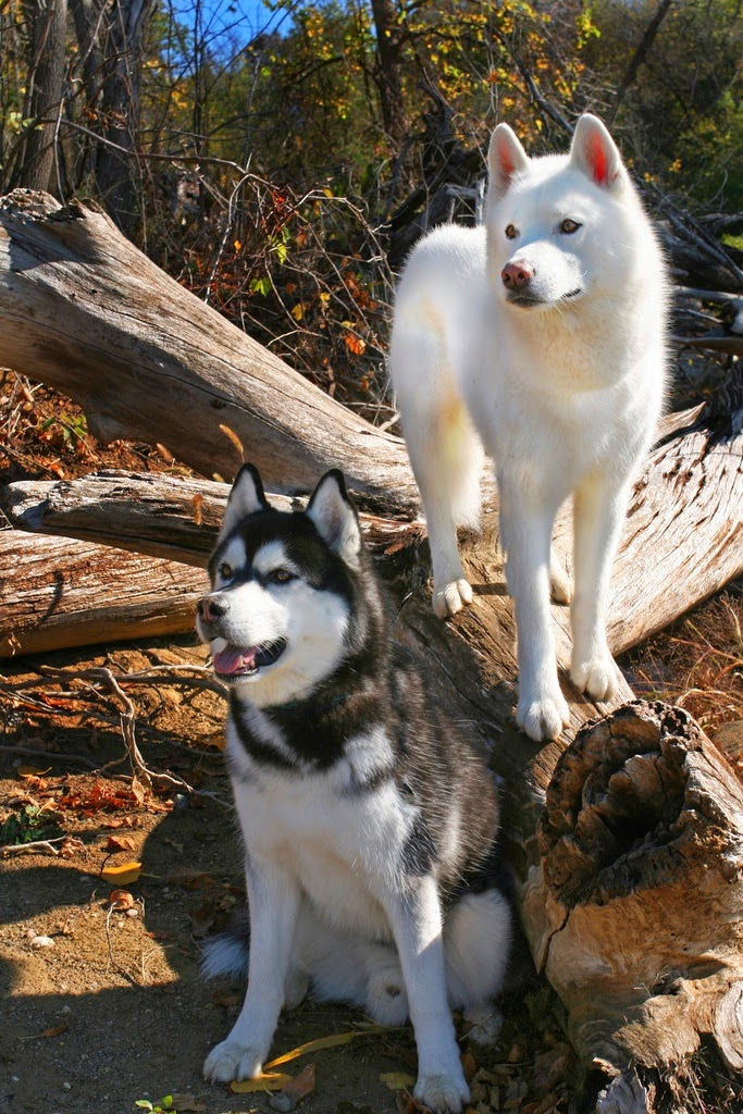 See more Siberian Husky http://cutepuppyanddog.blogspot.com/