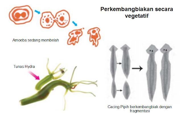 Perkembangbiakan mahluk hidup pada hewan secara vegetatif