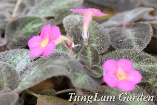 hoa gấm sứ muội, hoa gấm sứ muội mới, hoa ấm kiếm, chậu hoa treo, hoa ấm kiếm mới,