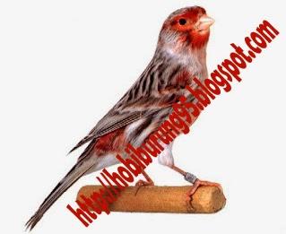 Jenis - Jenis Burung Kenari yang Bagus