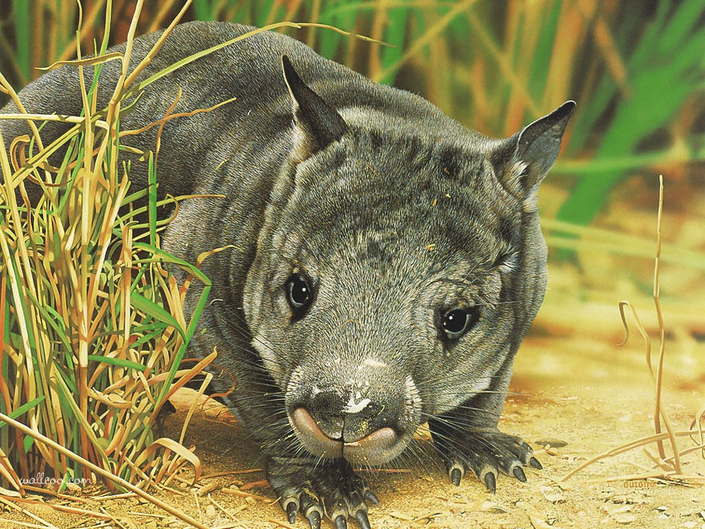 wombat wallpapers amp images   funny animals