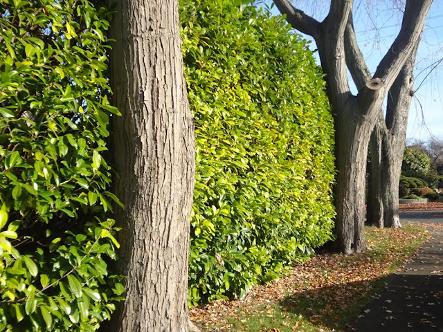 Trees against a green hedge in Vancouver, early winter