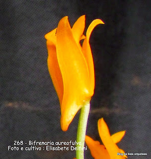 Bifrenaria secunda, Epidendrum secundum,