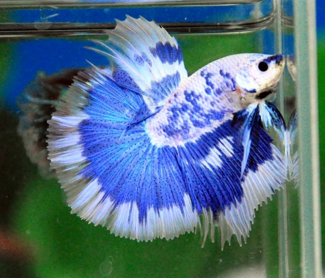White Blue Dragon HM | Betta fish | Pinterest | Blue ...