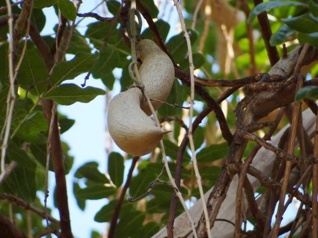 Owoc z drzewa kiełbasianego