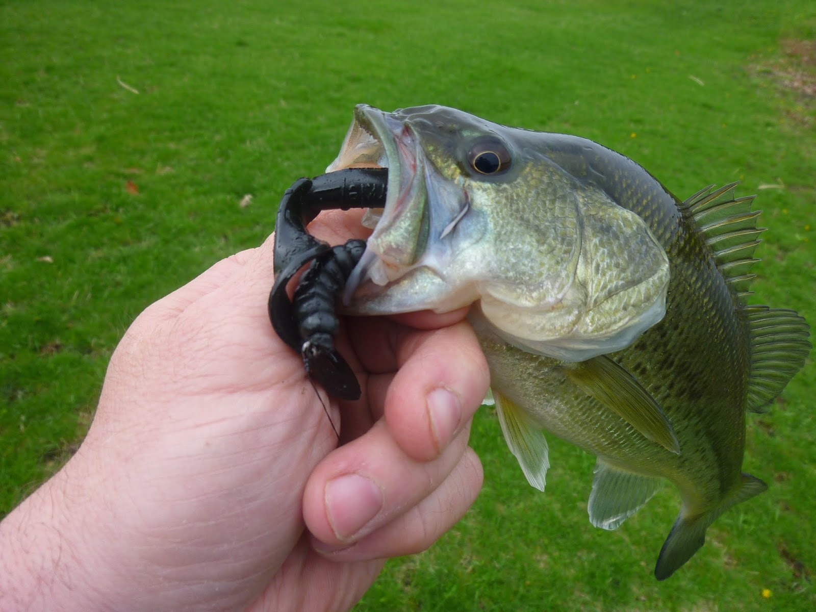 Darkstar72 39 s fishing blog wading before pond hopping for Where can i buy worms for fishing near me