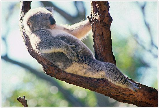 funny animals funny koala sleeping in tree