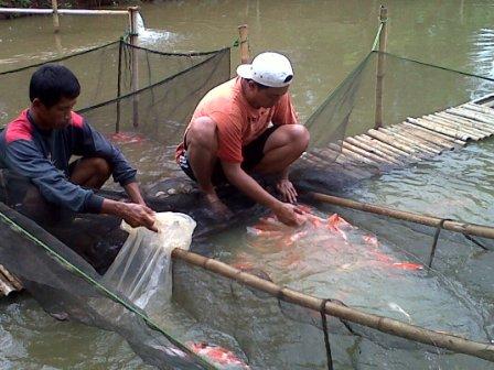 Mang heri koi farm koi prioritas utama budidaya ikan hias for Koi 1 utama