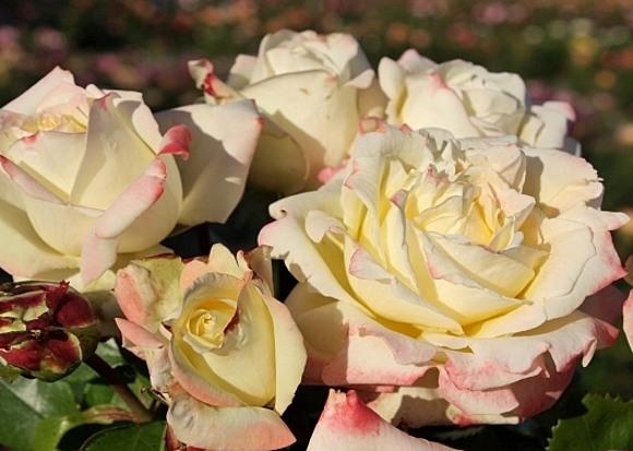 Athena rose сорт розы фото