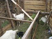 Nova forma de criar gado caprino