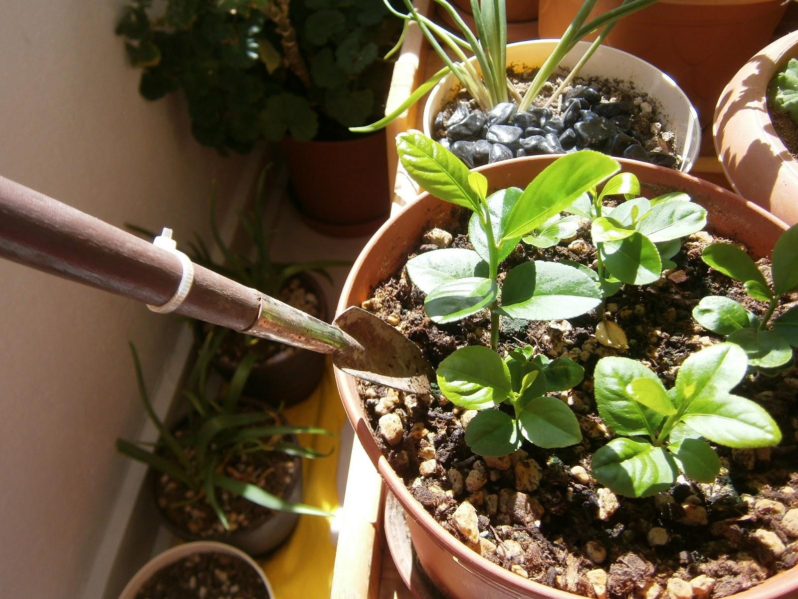 Fide tohumları yetiştirmesi