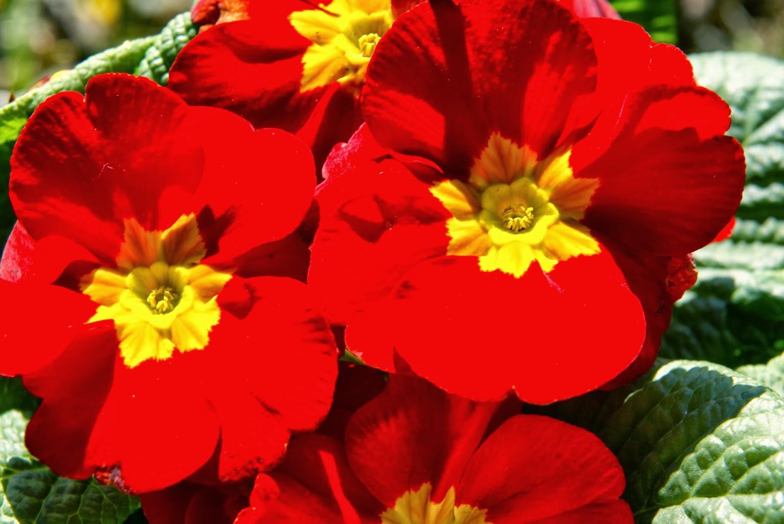 Flower Homes Primula Vulgaris Flowers
