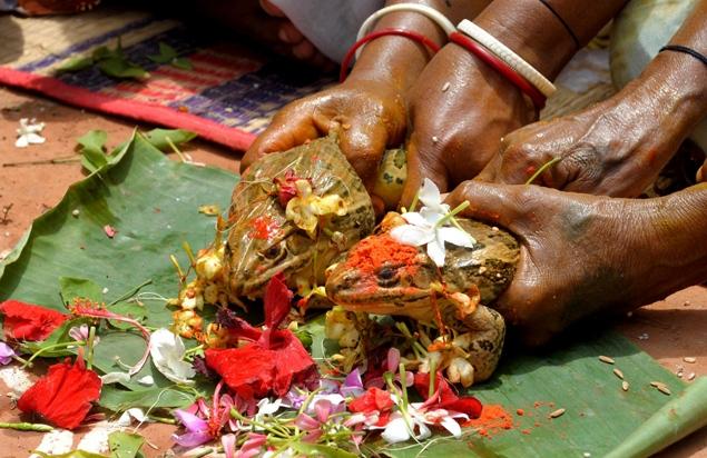 Perkahwinan Pelik - Katak Kahwin?
