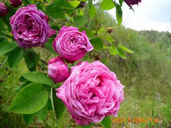 """Roses """"antigues"""", Rosa centifolia"""