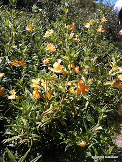 Probably Mimulus aurantiacus Orange Bush Monkeyflower (also Diplacus aurantiacus)