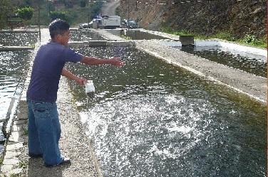 Crianza de truchas for Comida para peces de estanque