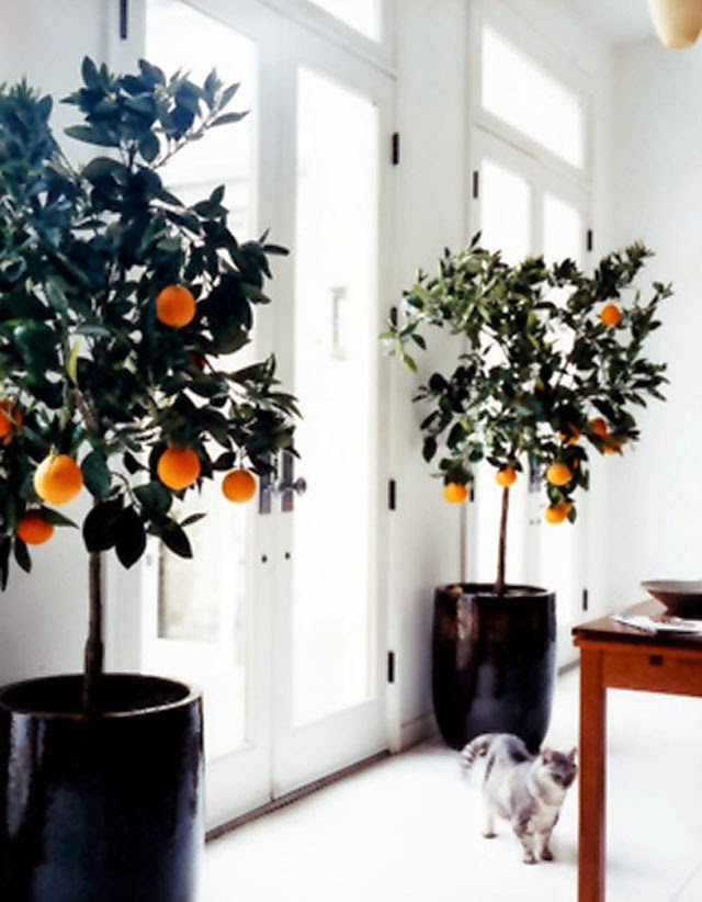 Marvelous orange trees indoors