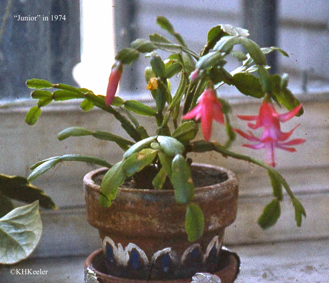 "Christmas cactus ""Junior' in 1974"