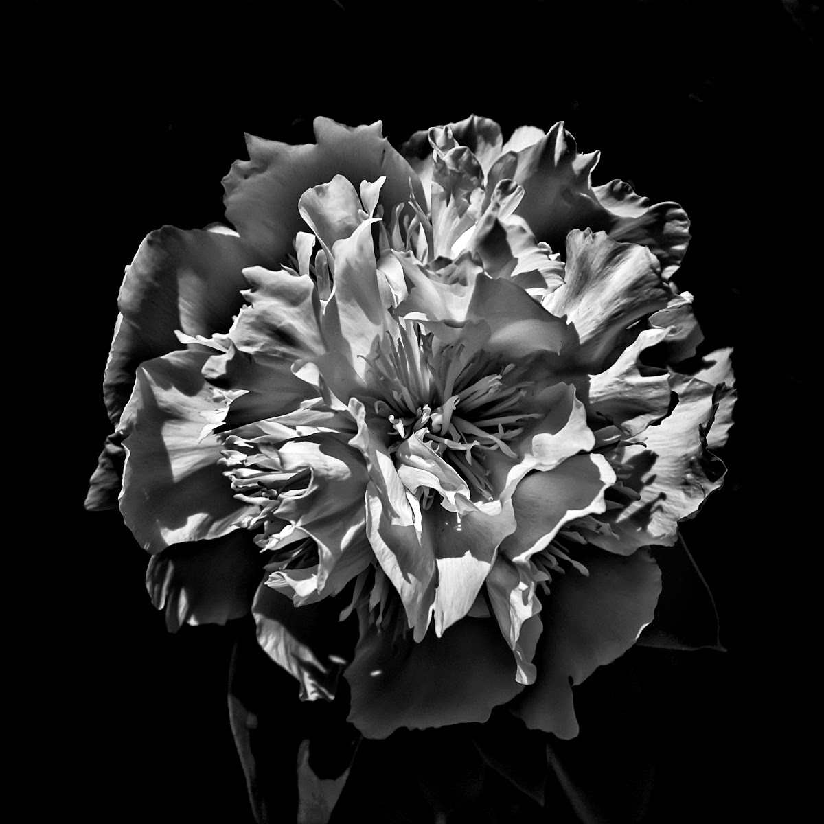 Backyard Flowers In Black And White 3