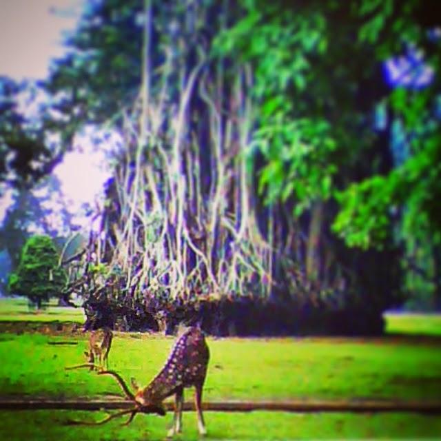 Rusa Istana Bogor