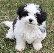 Large Shih Tzu Dogs Pictures