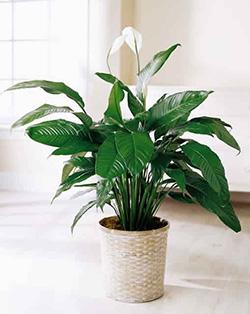 spatifilum plant