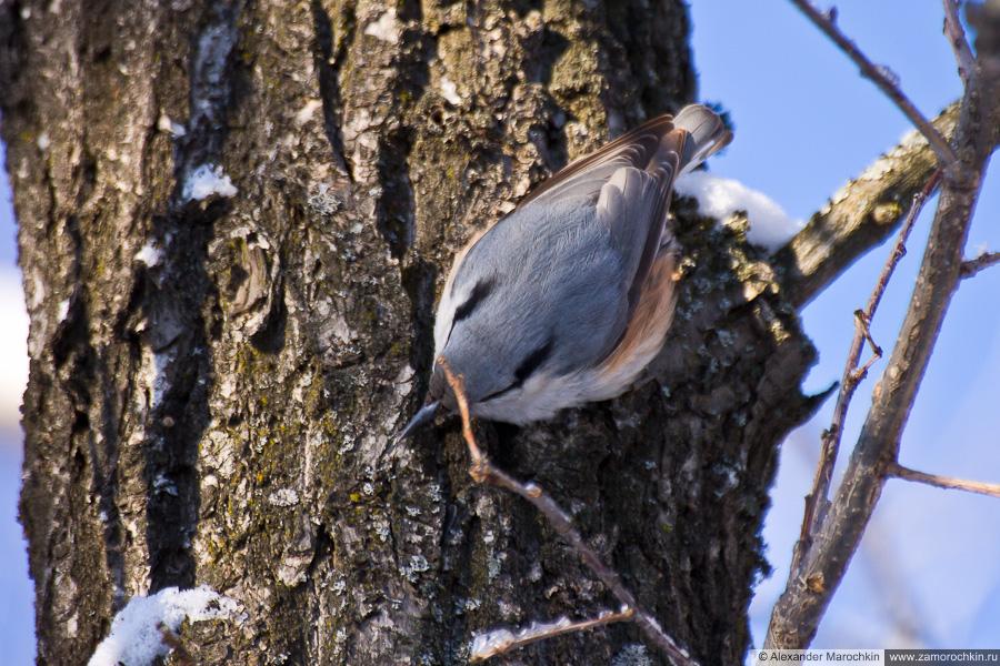 Поползень на дереве