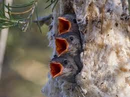 Mistletoebird_babies.jpg