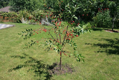 Young Morello sour cherry tree.