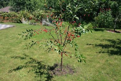Young Morello sour cherry tree.