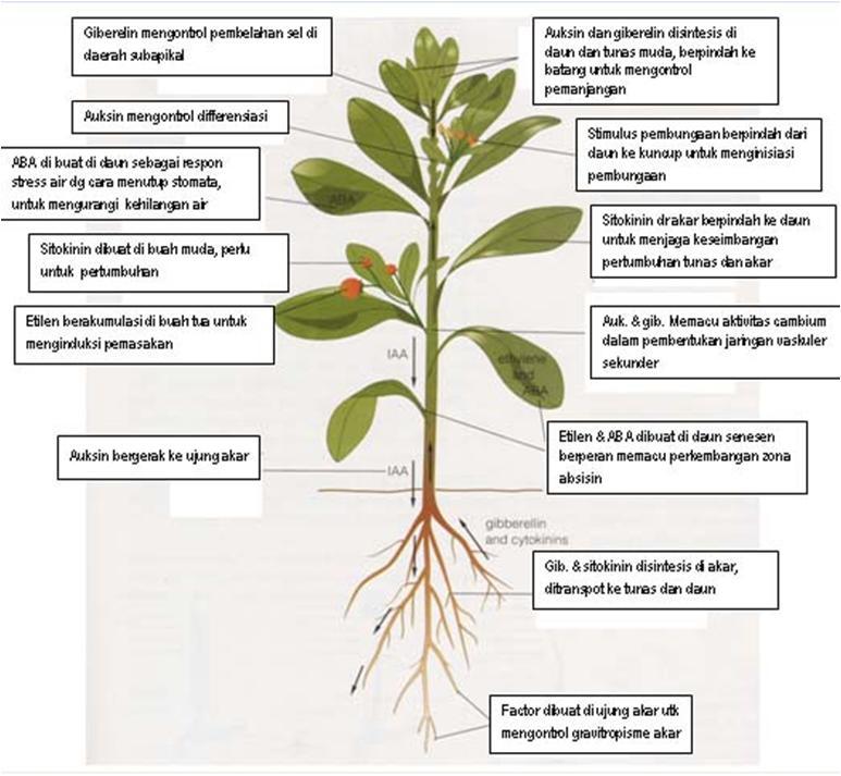 jenis hormon pada tumbuhan jenis hormon pada tumbuhan