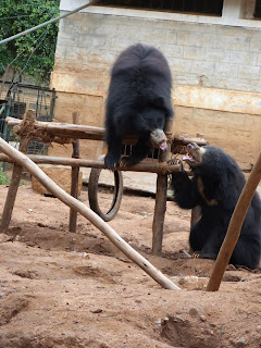 Two rescued bears have a squabble over whose turn it is to play on the climbing frame!