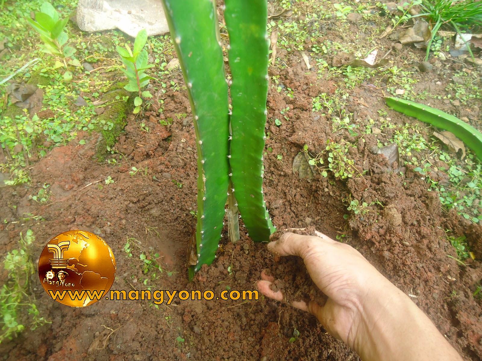 FOTO  2 : Penanaman dengan 2 stek batang dan penimbunan kembali.