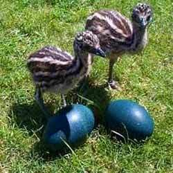 Emu chick and eggs