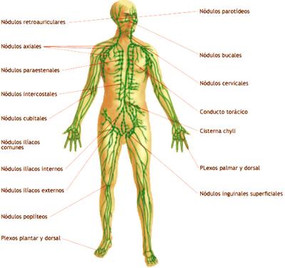 Dibujo del Sistema inmunológico del cuerpo humano indicando sus partes
