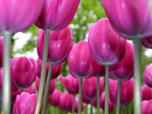 dp bbm bunga tulip